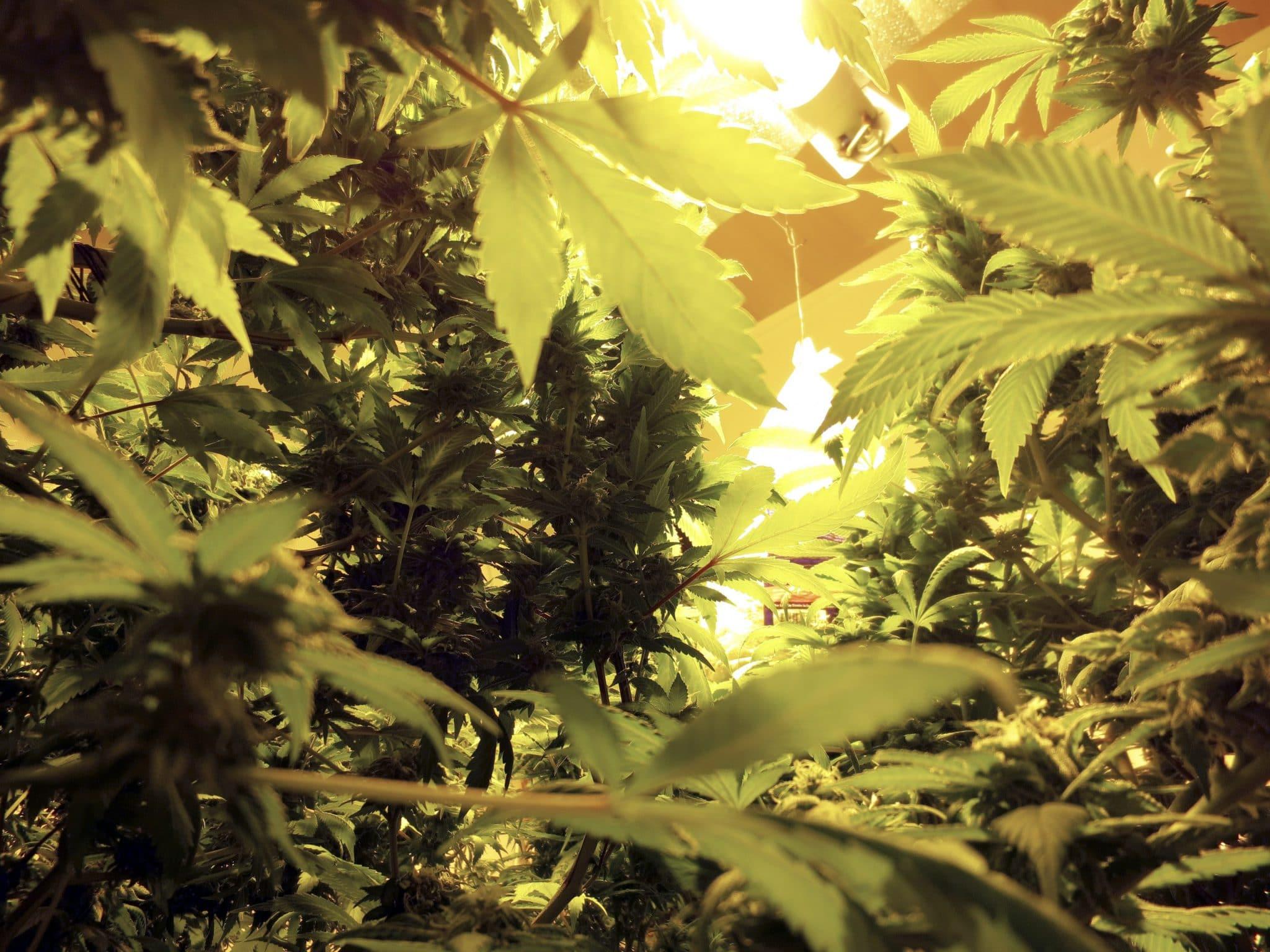 Vihreät Kannabis